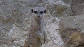 Una fine del meerkat su stock footage