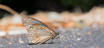 Una fine della farfalla di Brown sulla vista Immagini Stock