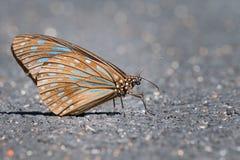Una fine della farfalla di Brown sulla vista Fotografia Stock