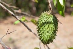 Una fine della frutta del durian sull'attaccatura su un ramo cuba fotografie stock