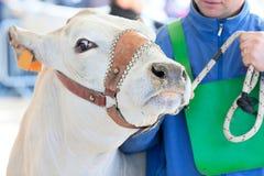 Una fine della mucca su Fotografia Stock Libera da Diritti