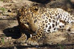 Una fine di riposo del Jaguar immagini stock