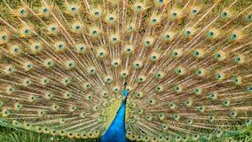 Una fine indiana del pavone su immagini stock