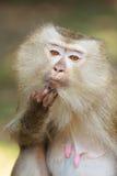 Una fine su del macaco Maiale-munito (nemestrina del Macaca) fotografia stock