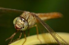 Una fine su della libellula Immagine Stock