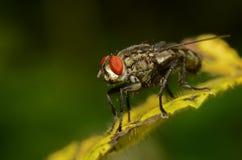 Una fine su della mosca Fotografie Stock Libere da Diritti