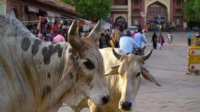 Una fine su di due mucche su una via indiana video d archivio