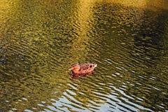 Una fine su di una ha isolato il nuoto del dauck sull'acqua in uno stagno immagini stock