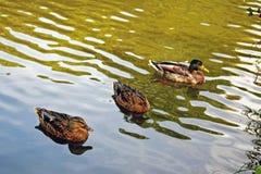 Una fine su di tre anatre sull'acqua dello stagno immagine stock libera da diritti