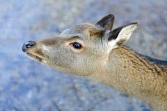 Una fine in su di un cervo Immagine Stock