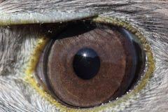 Una fine su di un occhio degli uccelli Immagine Stock