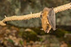 Una fine su di un pipistrello di grande Brown Fotografia Stock Libera da Diritti