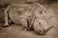 Una fine su di un rinoceronte/rinoceronte che mette sulla terra nello zoo Foto di seppia del rinoceronte che riposa sulla terra s Fotografie Stock