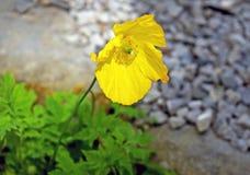Una fine su di un singolo molto bello giallo a colori il papavero che cresce in un giardino in un letto delle foglie con un fondo fotografia stock