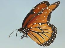 Una fine su di una farfalla della regina Immagine Stock
