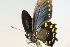 Una fine su di una farfalla di coda di rondine Fotografia Stock