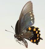 Una fine su di una farfalla di coda di rondine Immagine Stock