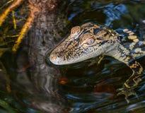 Una fine su di una testa del ` s dell'alligatore del bambino in una zona umida di Florida Fotografie Stock Libere da Diritti
