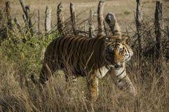 Una fine su di una tigre di Bengala maschio fotografie stock