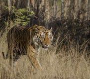 Una fine su di una tigre di Bengala maschio che cammina attraverso l'erba alta Immagini Stock Libere da Diritti
