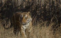 Una fine su di una tigre di Bengala maschio che cammina attraverso l'erba alta fotografie stock libere da diritti