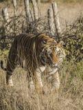 Una fine su di una tigre di Bengala maschio che cammina attraverso l'erba alta fotografie stock