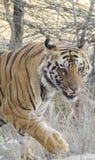 Una fine su di una tigre di Bengala maschio che cammina attraverso l'erba alta immagine stock libera da diritti