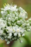 Una fine su, vista dettagliata del fiore di fioritura di una cipolla del giardino fotografie stock libere da diritti