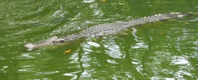 Una fine sul colpo dell'alligatori in acqua verde Immagini Stock