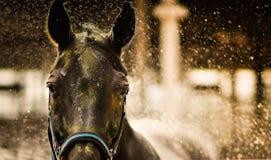Una fine sul colpo di un fronte del ` s del cavallo con la spruzzata dell'acqua fotografia stock