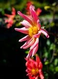 Una fine sul fiore audace nei colori luminosi che raggiungono al sole Fotografia Stock Libera da Diritti