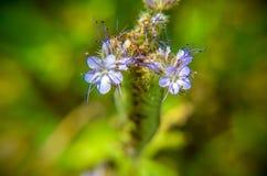 Una fine sul macro colpo del campo dei fiori blu e porpora, ha nominato il phacelia di Lacy fotografia stock libera da diritti