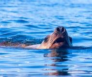 Una fine sul ritratto appena del Li nordico affiorato del mare (di Steller) Immagini Stock Libere da Diritti