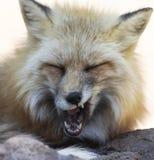 Una fine sul ritratto di un Fox che sbadiglia Fotografia Stock Libera da Diritti