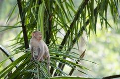 Una fine sull'immagine di giovane scimmia di macaco del cofano immagini stock libere da diritti