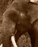 Una fine sull'immagine di seppia di un elefante asiatico maschio fotografia stock