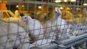 Una fine verso il basso ha sparato sopra delle gabbie della fabbrica del pollame con i polli da arrosto archivi video