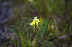 Una fioritura gialla del fiore Fotografia Stock Libera da Diritti