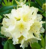 Una fioritura gialla del rododendro Immagini Stock