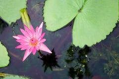 Una fioritura Lotus nello stagno Immagini Stock