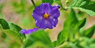 Una fioritura porpora su un cespuglio della patata. Fotografia Stock Libera da Diritti