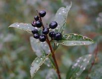 Una flor agradable con las bayas negras foto de archivo libre de regalías