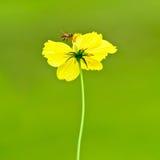 Una flor amarilla con una abeja en fondo verde Foto de archivo libre de regalías