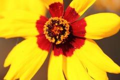 Una flor amarilla del cosmos Imagenes de archivo