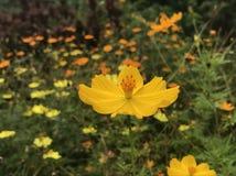 Una flor amarilla en la plena floración fotografía de archivo