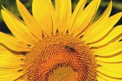 Una flor amarilla enorme de un girasol con sostenido se va y una pequeña abeja poliniza una flor Fotos de archivo libres de regalías