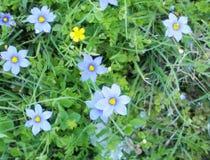 ¡Una flor amarilla entre los arreglos azules de las naturalezas, impresionantes! Imagen de archivo libre de regalías