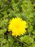 Una flor amarilla magnífica de la cabeza del diente de león para arriba cierra detalladamente macro Fotos de archivo