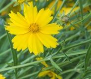 Una flor amarilla que florece en el jardín Imagenes de archivo
