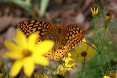 Una flor amarilla suave detrás de ella, revela una alimentación colorida de la mariposa fotografía de archivo libre de regalías